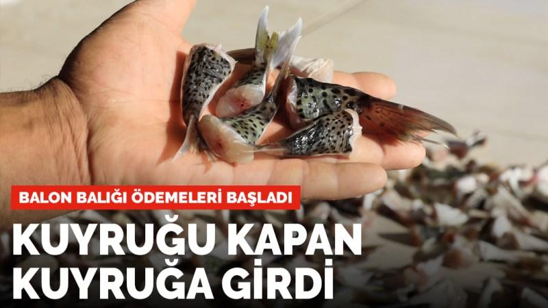 Ödemeler başladı: Balon balığı kuyruğu getirene 5 lira
