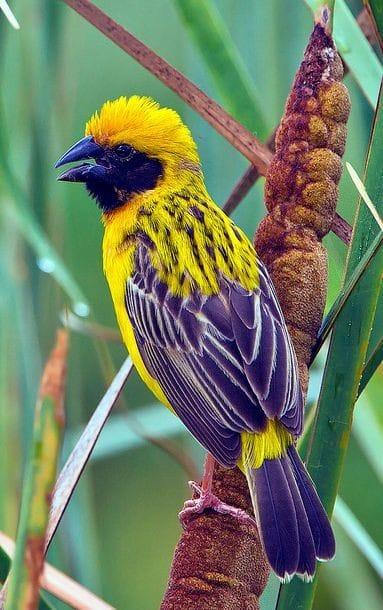 Asian Golden Weaver - The Most Beatiful Birds - En Güzel Kuşlar