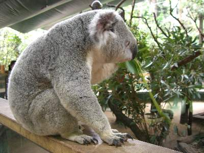コアラ写真撮影タイムで近づいた時に撮ったコアラ