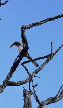 Orange-billed Hornbill