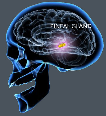pineal2