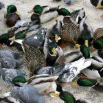 Nyderlandai sunaikins 8 tūkst. ančių, kad sustabdytų paukščių gripo protrūkį
