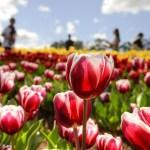 Rusija pasiruošusi tartis dėl olandiškų gėlių