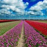 Olandai pradėjo gaminti degtinę iš tulpių
