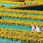 Van Gogo saulėgrąžų labirintą aplankė daugiau nei 40 000 žmonių