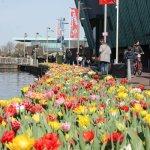 Kasmetinės šventės proga Amsterdamas pasipuošė 800 000 tulpių