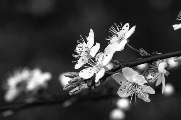 SchwarzWeiß Blüten