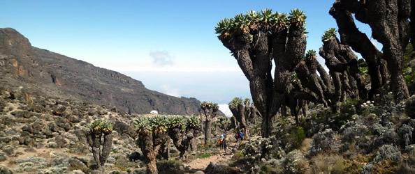 Verso Barranco Camp. Il sentiero attraverso boschetti di Senecio Gigante, i tronchi raggiungono anche i 7–10 m di altezza e fungono da serbatoi di acqua
