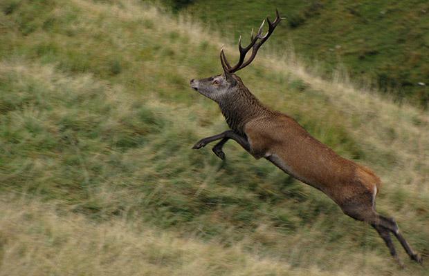Cervo in fuga