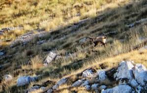 Camoscio Appenninico, un erbivoro, presente soprattutto nelle praterie di alta quota, oltre i 1700 metri.