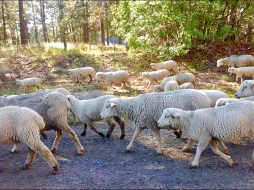 Sheep in Colorado