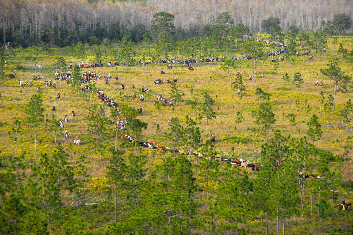 Great Florida Cattle Drive--Days Away