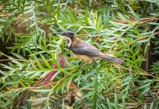 Eastern spinebill