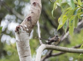 Lewins Honey eater(?)