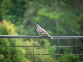 Crested pigeon AKA pointy headed pigeon!