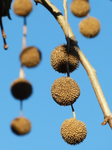 Round ball like seeds pods against a bright blue sky