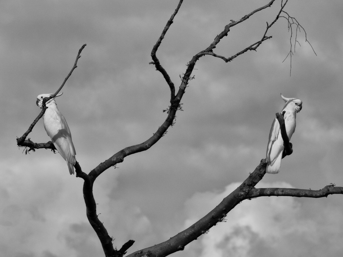 2 cockatoos in a tree