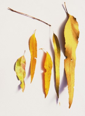 Gum leaves - water colour