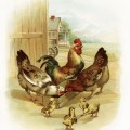 vintage rooster image, visit to the farm, chicken chicks illustration, farm animals clipart, barnyard animals