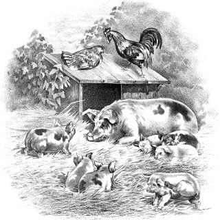 Pigs, Piglets, Rooster and Hen Farm Animals ~ Free Graphic
