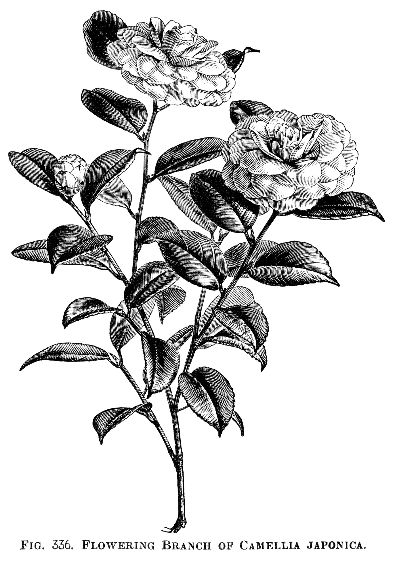 Moutan Paeonia Peony Clip Art Botanical Engraving Black