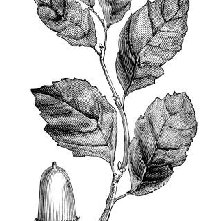 Cork Oak Leaves and Acorn ~ Free Vintage Clip Art