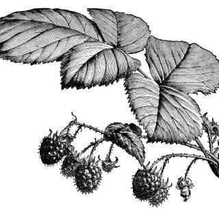 Fruiting Raspberry Branch ~ Free Vintage Image
