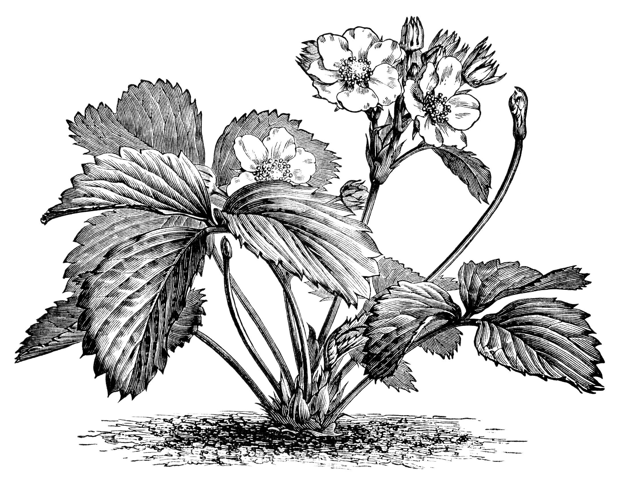 Flowering Strawberry Plant Free Vintage Image