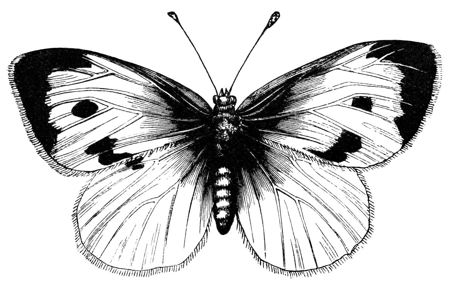 Beautiful Butterfly Free Vintage Clip Art