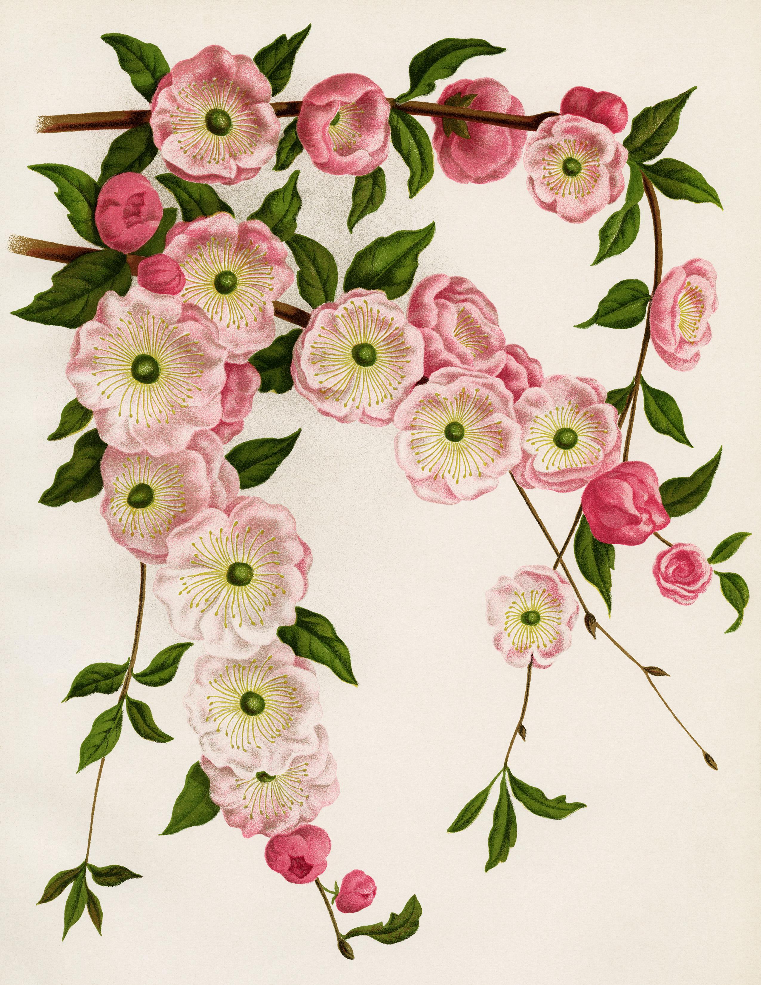 Flowering Almond Free Vintage Image