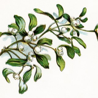 Mistletoe and Berries ~ Free Vintage Image