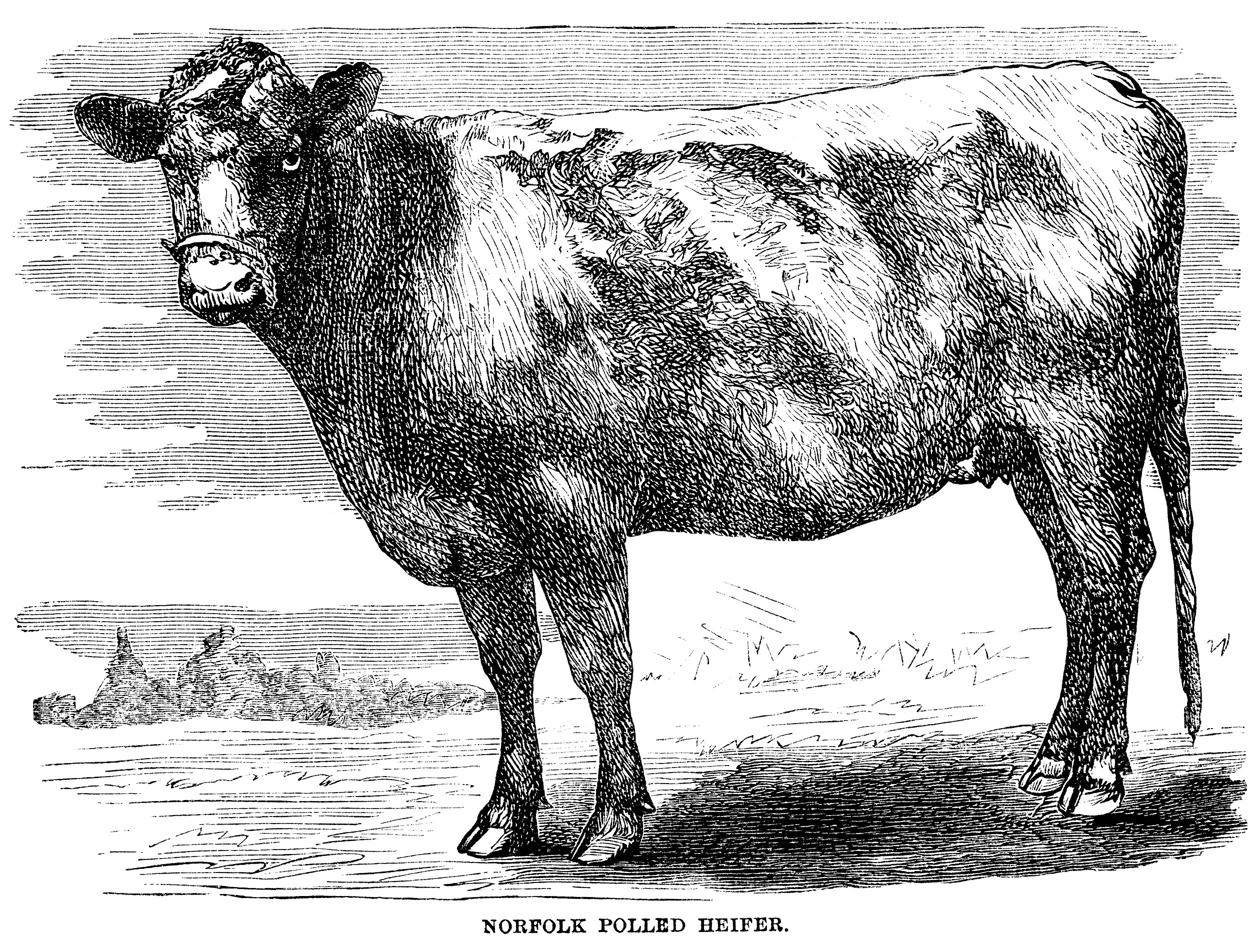 Vintage Cow Engraving ~ Free Clip Art | Old Design Shop Blog