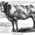 black and white clip art, vintage cow clipart, farm animal illustration, cow engraving, norfolk polled heifer