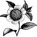 Camellia Japonica Anemonaeflora, camellia flower illustration, black and white clip art, vintage flower clipart, floral graphics free