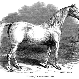 High Bred Arab Horse ~ Free Vintage Clip Art