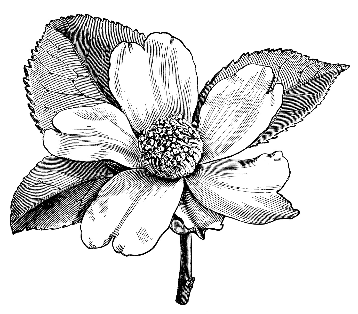 Camellia Oleifera Flower Free Vintage Clip Art
