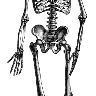 Skeleton of Man ~ Free Vintage Clip Art