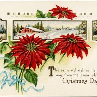 Stecher Poinsettia Postcard