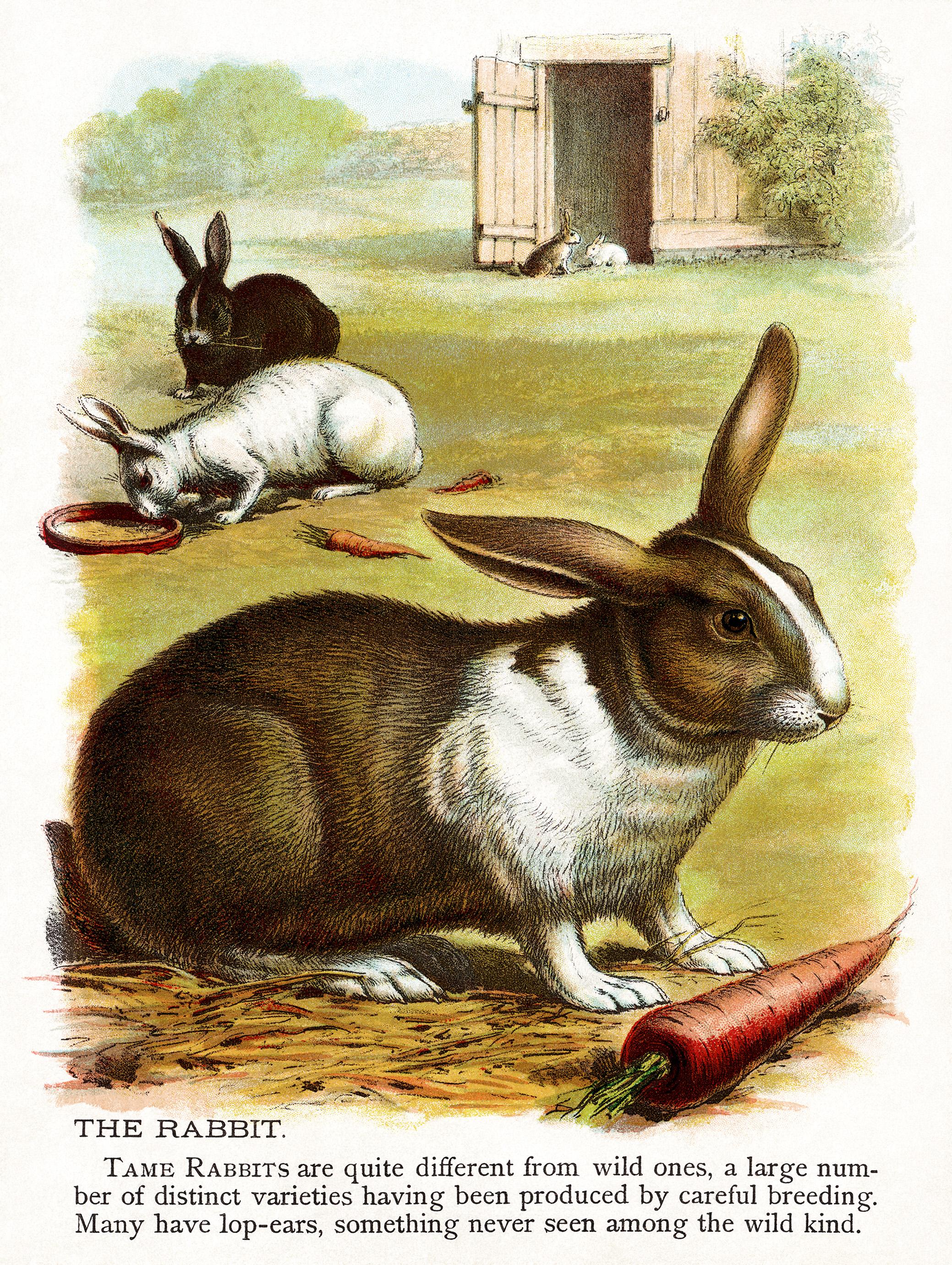 The Rabbit Free Illustration
