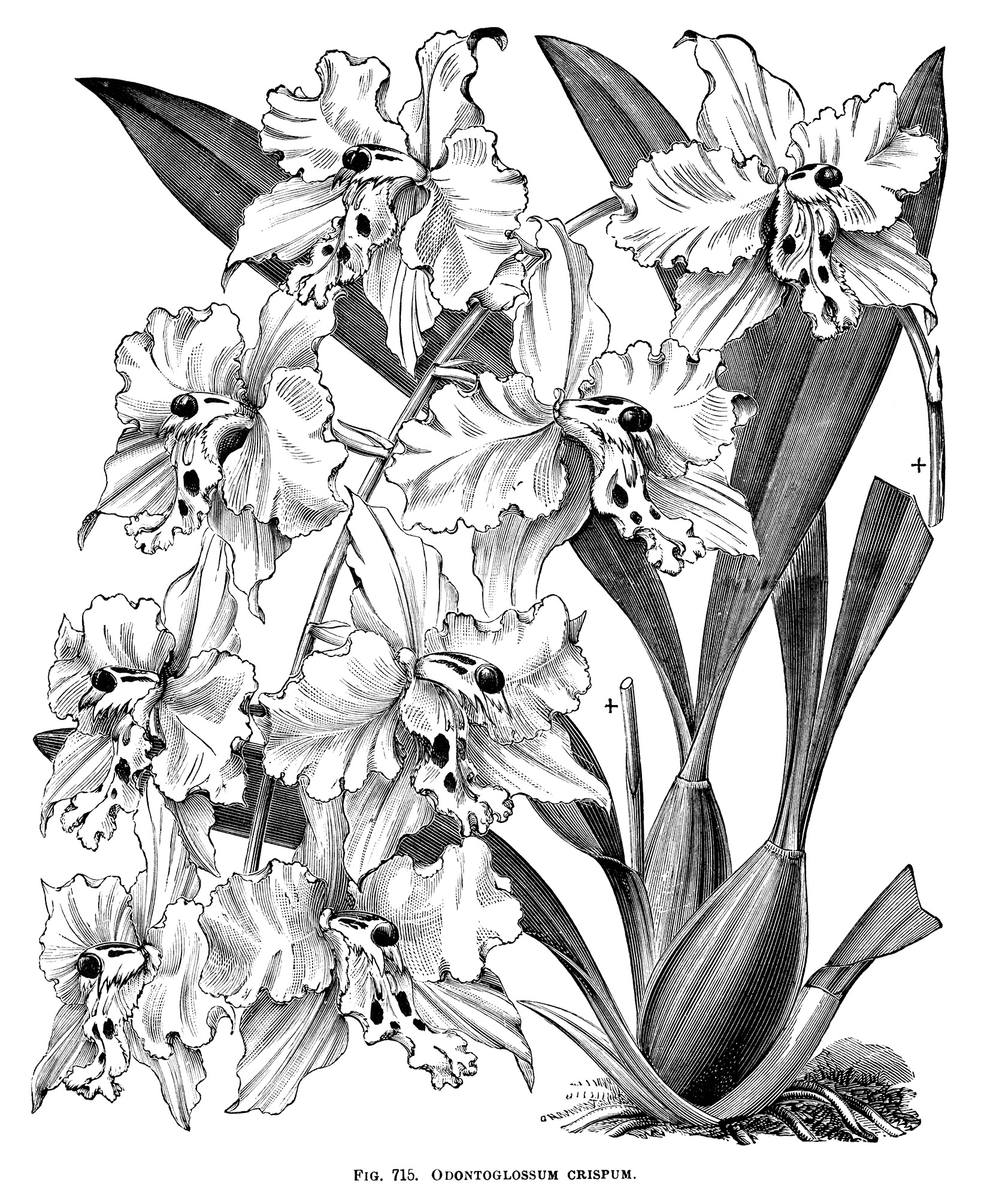 Odontoglossum Crispum ~ Free Vintage Clip Art | Old Design ...