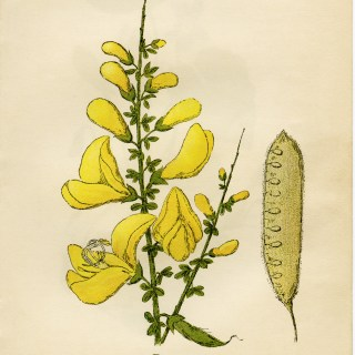 Broom Flower Illustration