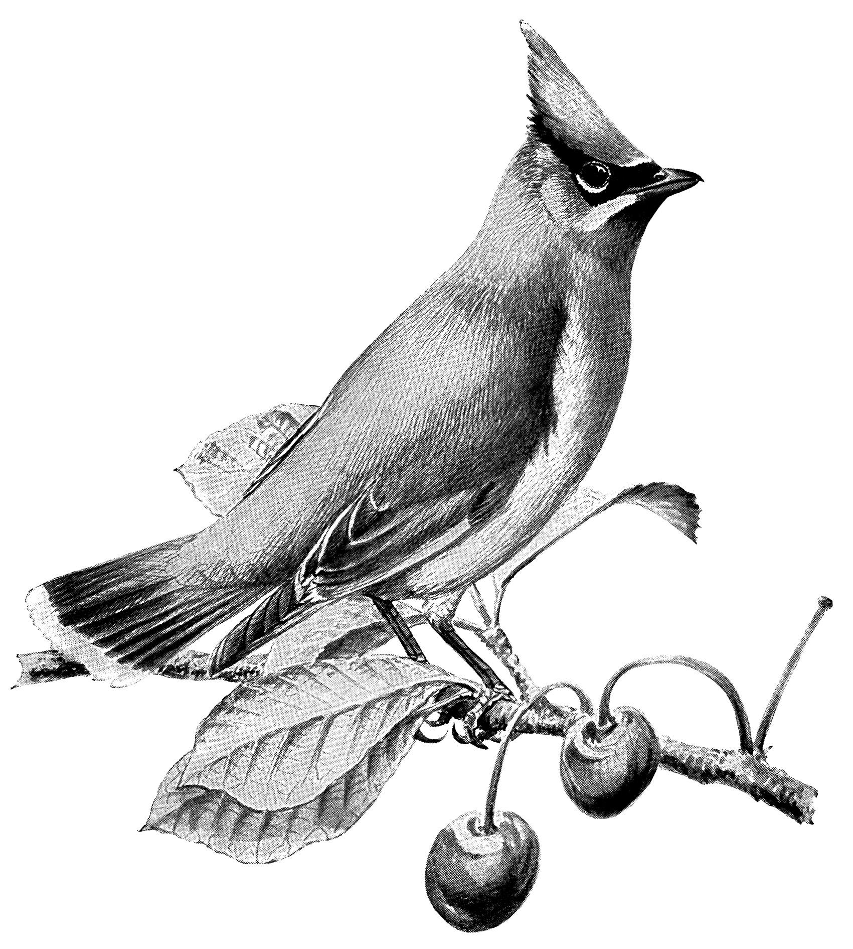 Vintage Bird Art Black And White Cedar Waxwing ~ Bird C...