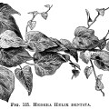 Hedera Helix, ivy clip art, botanical engraving, black and white clip art, vintage ivy illustration
