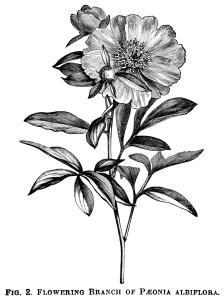 Paeonia Wittimanniana, Tenuifolia Flore-Pleno peony, Peony Albiflora, peony clip art, botanical engraving, black and white graphics, free printable vintage flower