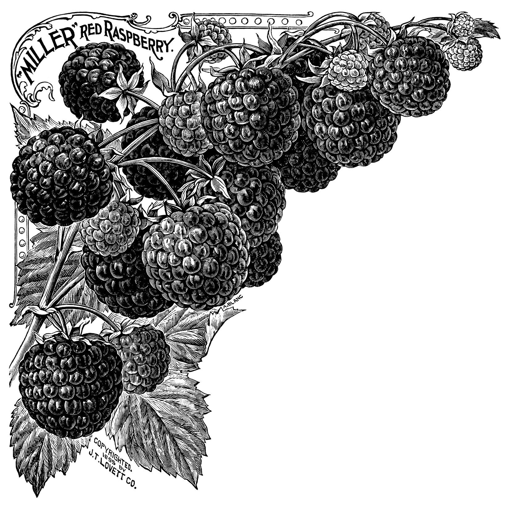 Raspberry Plant | Old Design Shop Blog