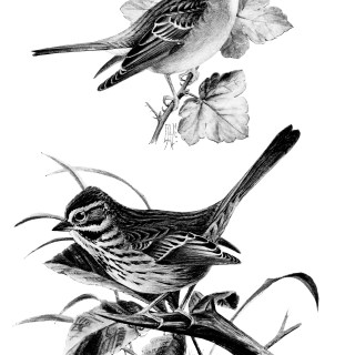 Song Sparrow and Chipping Sparrow