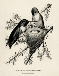 vintage bird clip art, hummingbird illustration, ruby throat hummingbird, black and white graphics, printable bird illustration, bird on branch, Louis Agassiz Fuertes