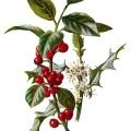 holly clip art, vintage flower illustration, Christmas flower, holly botanical drawing, Frederick Edward Hulme