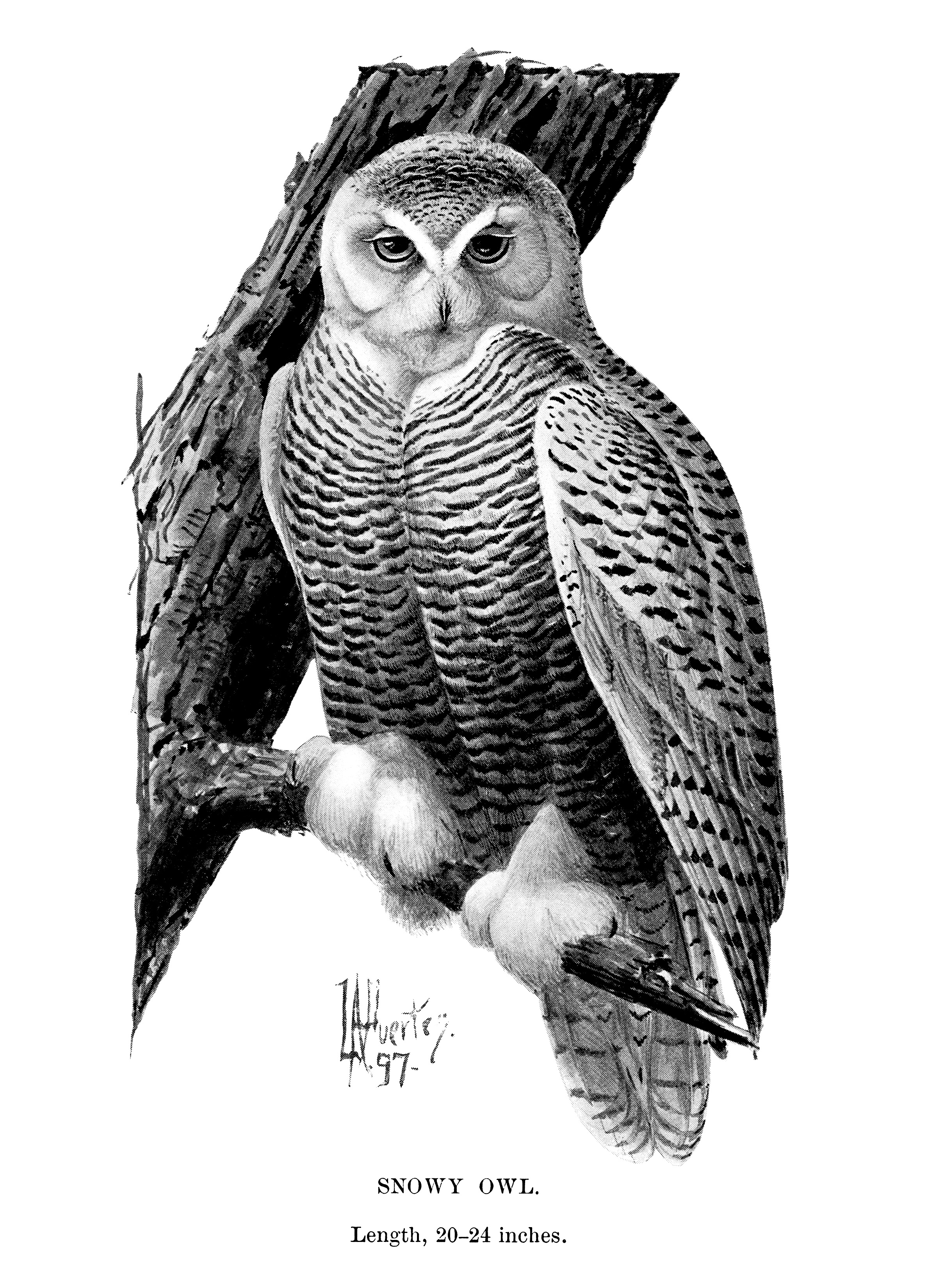 Snowy Owl Vintage Clip Art