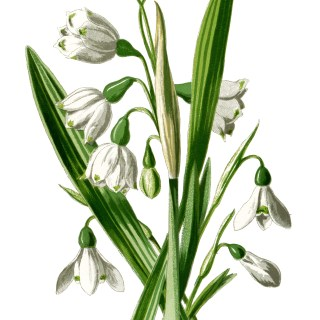 Snowdrop and Snowflake Illustration